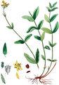 Berg-Hartheu und Berg-Johanniskraut (Hypericum montanum L.): Gesamte Pflanze mit aBlatt bBlütenkelch b*Zeichnung des Blütenkelches cKelchblatt der Blüte dBlüte eBlüten- bzw. Kronenblatt fFruchtkapsel im Querschnitt gSame —Abbildung aus Kops u.a. (1849); b*:Fitch u.a. (1880)