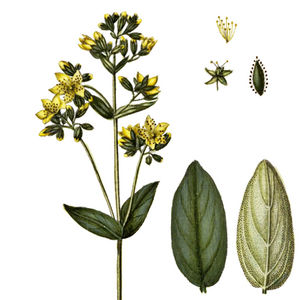 Oberer Teil des Berghartheus mit Blütendetails (Staubblätter, Fruchtknoten mit Kelchblättern), Vorder- und Rückseite eines Stengelblattes—Abbildung aus Oeder (1766)