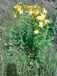 Echtes Johanniskraut: Pflanze– Bjoertvedt, CC BY-SA 3.0