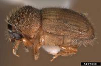 Hypocryphalus mangiferae IPM5477338.jpg