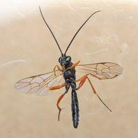 Hyposoter ebeninus Insect Gallery1.jpg