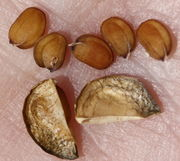 Die Samen sind oval und abgeplattet, nur jeweils zwei pro Schote. (Bild: W. Wohlers, JKI)