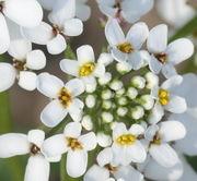 Die Blüten haben unterschiedlich lange, weiße Kronblätter. (Bild: W. Wohlers, JKI)