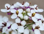 Die Kelchblätter der Knospen sind noch weiß, die der Blüten hier violett. (Bild: W. Wohlers)