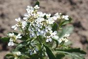 Als Zierpflanze ist die Schleifenblume durchaus geeignet. (Bild: W. Wohlers, JKI)