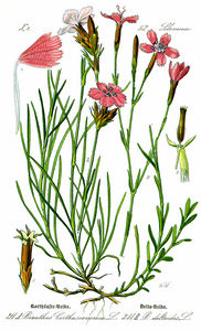 Illustration Dianthus deltoides0-clean.jpg