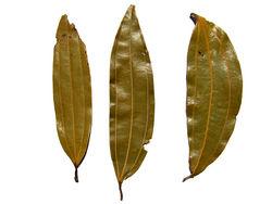 alt=Description de l'image Indian bay leaf - tejpatta - indisches Lorbeerblatt.jpg.