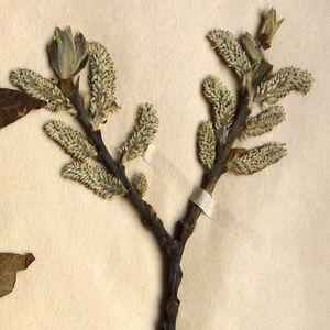 Inflorescence of Salix laggeri Wimm. (photo Anton Drescher, 2011) from Herbarium sheet, Dryades TS110429.jpg