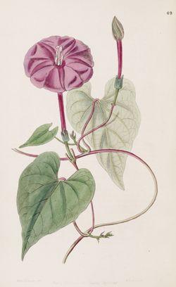 alt=Description de l'image Ipomoea purga (as Exogonium purga) Bot. Reg. 33.49.jpg.