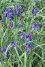 Iris pontica - Fleur.jpg