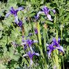 Iris ruthenica - Fleurs.jpg