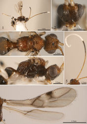 Figures 1–6. Pambolus albospina sp. n. 1 Habitus of female (lateral view) 2 head (anterior view) 3 head, mesosoma and first metasomal segment (dorsal view) 4 head, mesosoma and first metasomal segment (lateral view) 5 antenna (dorsal view) 6 wings.