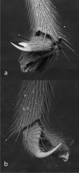 Figure 8. Fore claw a and hind claw b of Bicurta sinica.