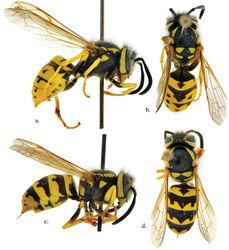 Figure 1. Vespula pensylvanica worker a side view b dorsal view; Vespula germanica worker c side view d dorsal view.