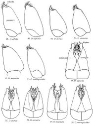 Figures 48–53. Lateral view of genital capsule in Dolichovespula (Dolichovespula) 54–58 Ventral view of genital capsule.