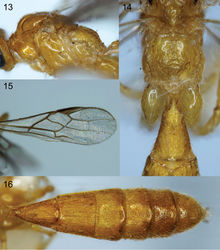 Figures 13–16. Colastomion masalaii sp. n. Cell^D® light photomicrographs. 13 Mesosoma, lateral view 14 propodeum and 1st tergite 15 fore wing 16 metasoma.
