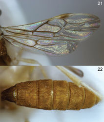 Figures 21–22. Colastomion madangesis sp. n. holotype, Cell^D® light photomicrographs. 21 Wings 22 metasoma.