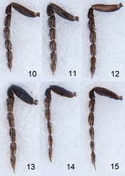 Figures 10–15. Asecodes spp., antennae 10–12 females 10 Asecodes lineophagum sp. n. 11 Asecodes parviclava (Thomson) 12 Asecodes lucens (Nees) 13–15 males 13 Asecodes lineophagum 14 Asecodes parviclava 15 Asecodes lucens.