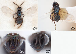 Figures 24–27. 24–25 Asecodes spp., neotypes, females 24 Asecodes lucens (Nees) 25 Asecodes parviclava (Thomson) 26–27 Asecodes lineophagum sp. n., head in frontal view 26 female 27 male.