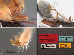 Figure 3. Paramblynotus seyrigi sp. n., holotype female. A ovipositor lateral view B wings C tarsal claws D labels.