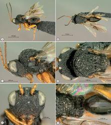 Figure 18. Paramblynotus dzangasangha sp. n., holotype female. A lateral habitus B dorsal habitus C head and mesosoma, lateral view D head and mesosoma, dorsal view E head, anterior view F scutellum and propodeum, posterior-dorsal view.