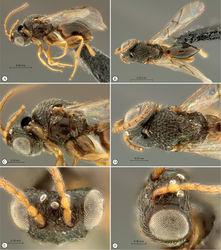 Figure 21. Paramblynotus matele sp. n., holotype female. A lateral habitus B dorsal habitus C head and mesosoma, lateral view D head and mesosoma, dorsal view E head, dorsal view F head, dorsolateral view.