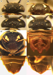 Figures 9–16. 9–12 Head of female in dorsal view 9 Celonites mayeti (dbM No. 3456) 10 Celonites persicus (dbM No. 3455) 11 Celonites andreasmuelleri (dbM No. 3072) 12 Celonites spinosus (dbM No. 3428). 13 Head of Celonites persicus female (dbM No. 3455) in frontal view. 14–16 Tip of metasoma from ventral 14 Celonites andreasmuelleri male (dbM No. 3454) 15 Celonites mayeti female (dbM No. 3456) 16 Celonites persicus female (dbM No. 3455).