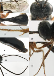 Figures 6–14. Seleucus cuneiformis Holmgren, ♀ (except 11 = ♀), Austria, Plöckenstein. 6 Wings 7 first metasomal tergite dorsal 8 apex of fore tibia (arrow to angulate part of apical lamella) 9 ovipositor sheath lateral 10, 11 antenna 12 head frontal 13 head lateral 14 hind leg lateral.