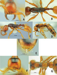 Figure 5. Aenictus cylindripetiolus (A, B, C holotype D, E, F, G paratype queen). A, F Head in full-face view B, G body in dorsal view C, D body in profile E tip of gaster (6th gastral tergite and pygidium).