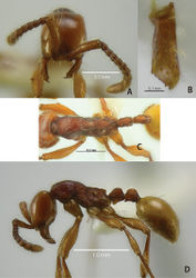 Figure 17. Aenictus thailandianus (specimens from the type locality). A Head in full-face view B mandible C body in dorsal view D body in profile.