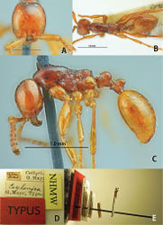 Figure 27. Aenictus ceylonicus (A,C paralectotype B,D,E lectotype). A Head in full-face view B body in dorsal view C body in profile; labels of lectotype E lectotype designated in this paper.
