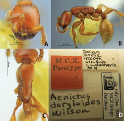 Figure 28. Aenictus doryloides (paratype). A Head in full-face view B body in profile C body in dorsal view; labels of paratype.
