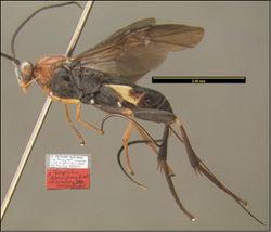 Figure 5. Agathacrista depressifera lateral habitus.