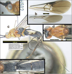Figure 8. Agathacrista winloni. a lateral head b wings c lateral habitus d dorsal head and mesosoma e dorsal propodeum and metasomal median tergites 1–3.