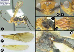 Figure 6. Euagathis breviantennata sp. n., female, paratype. A lateral habitus B fore wing C hind wing D dorsal head E lateral head F lateral mesosoma G dorsal thorax H postero-lateral propodeum and anterior metasoma.