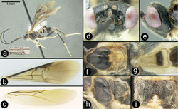 Figure 11. Euagathis pallitarsis sp. n., female, paratype. A lateral habitus B fore wing C hind wing D dorsal head E lateral head F dorsal thorax G dorsal first metasomal tergite H lateral mesosoma I dorsal propodeum.