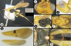 Figure 12. Euagathis setosimaculata sp. n., female, holotype. A lateral habitus B wings C dorsal head D lateral head E lateral mesosoma F dorsal thorax G propodeum H dorsal metasomal terga 1–2.