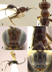 Figures 1–6. Meteorus orocrambivorus sp. n. 1 Female lateral habitus 2 Female head and mesonotum dorsal view. The arrow indicates the reduced wing 3 Female head frontal view 4 Female propodeum and first metasomal tergite dorsal view 5 Male lateral habitus 6 Male frontal view.