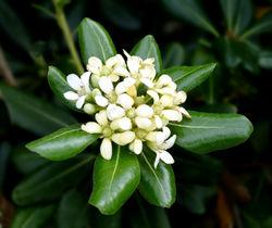 alt=Description de l'image Japanese Cheesewood -- Pittosporum tobira.jpg.