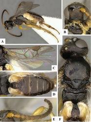 Figure 28. Markshawius erucidoctus female holotype. A Habitus B Head frontal C Fore wing and hind wing D Metasoma dorsal E Antenna F Mesosoma dorsal.