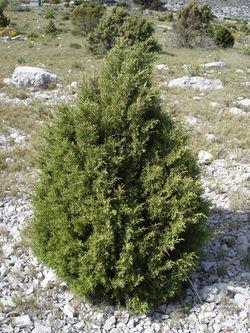 alt=Description de l'image Juniperus phoenicea1.jpg.