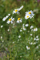 Kamomillasaunio (Matricaria recutita).JPG