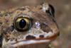 Knoblauchkröte– Pelobates fuscus, Augen mit senkrechter Pupille.