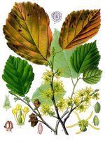 "Bildtafel zu H. virginiana aus ""Köhler's Medizinal-Pflanzen"""