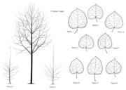Tafel 4: Populus tremula 'Tapiau'