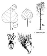 Tafel 6 (links oben): Populus tremuloides