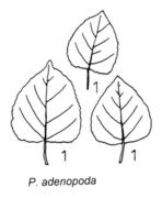Tafel 6 (links unten): Populus adenopoda