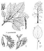 Tafel 6 (rechts oben): Populus grandidentata