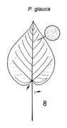 Tafel 7 (Teil): Populus glauca
