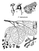 Tafel 7 (Teil): Populus heterophylla